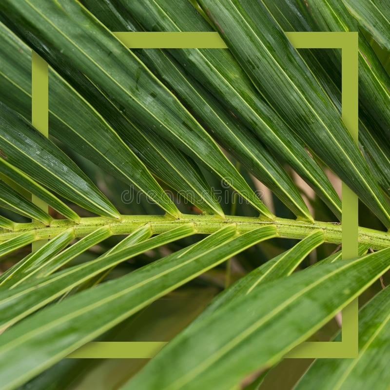 Square tropical frame. Nature green concept banner. Palm tree close up leaf. Summer holiday poster. royalty free stock photo