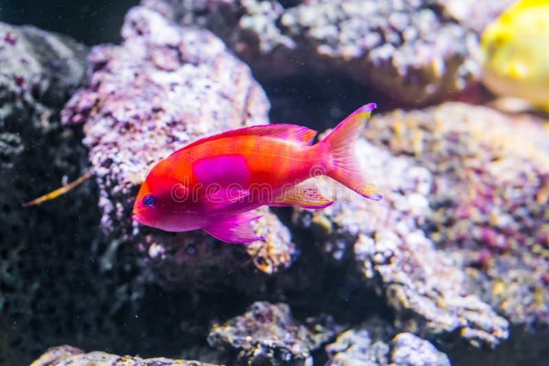 squarespot anthias也认识作为方形的斑点神仙的basslet太平洋的一条充满活力的五颜六色的热带鱼 免版税库存照片