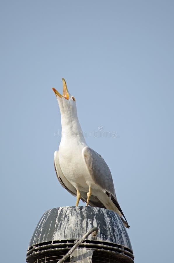 Download Squarking的鲱鸥 库存图片. 图片 包括有 蓝色, 突出, 纵向, 户外, 活动家, 晴朗, 鲱鱼 - 72357459
