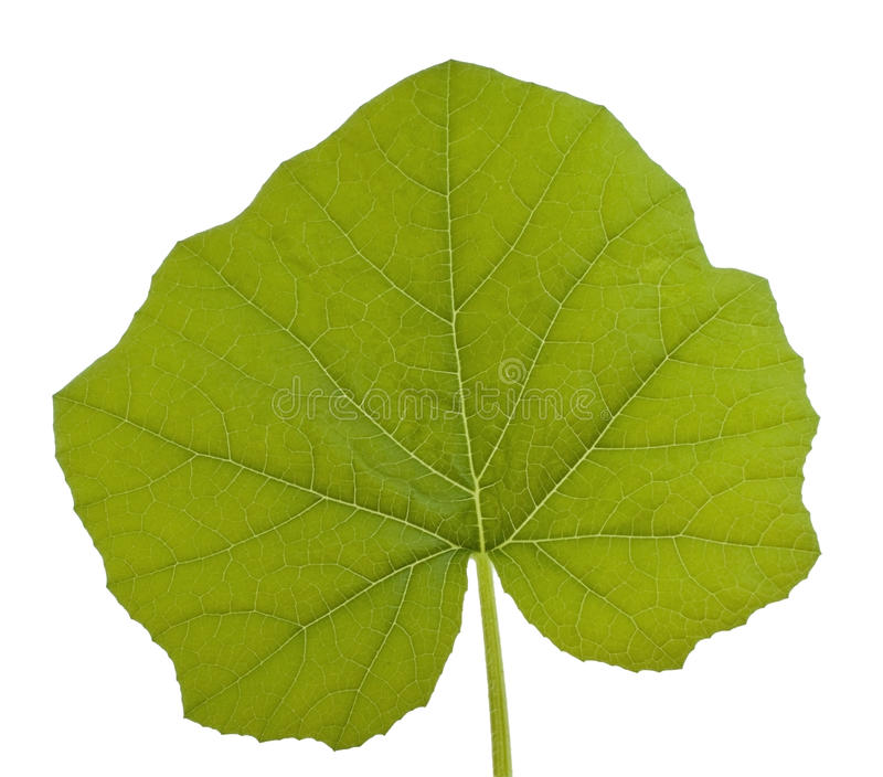 Squash Leaf Royalty Free Stock Image