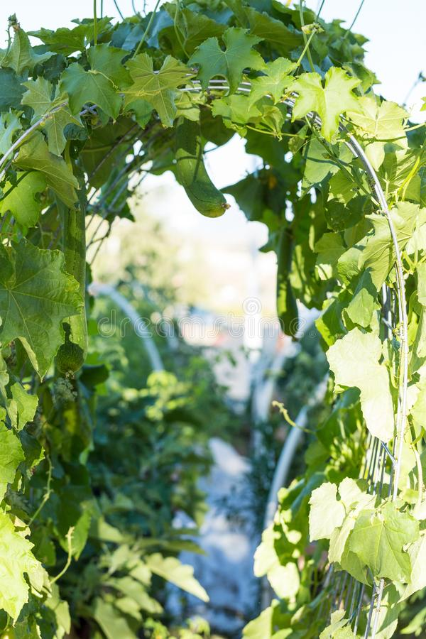 Squash leaf covered arch in an organic garden royalty free stock images