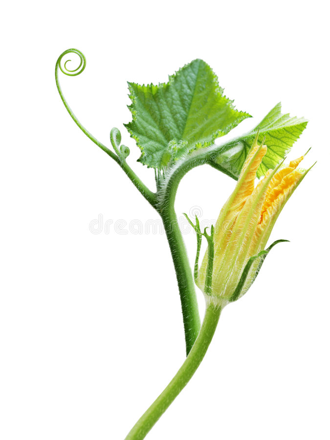 Squash leaves and flower stock images