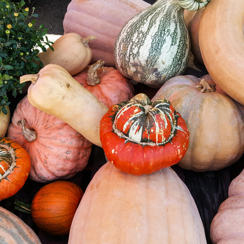 Squash, pumpkins and yellow mums royalty free stock image