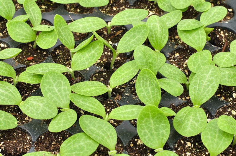 Download Squash seedlings stock photo. Image of green, marrows - 24576172