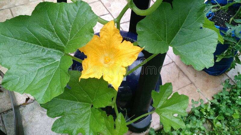 Squash Vine  blossom royalty free stock images