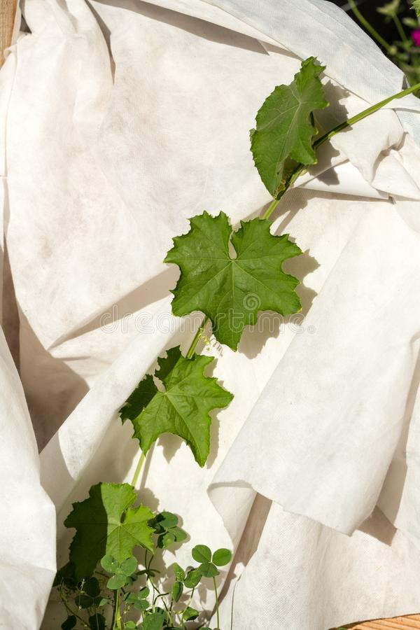 Squash vine grows across a white cloth in an organic garden royalty free stock images