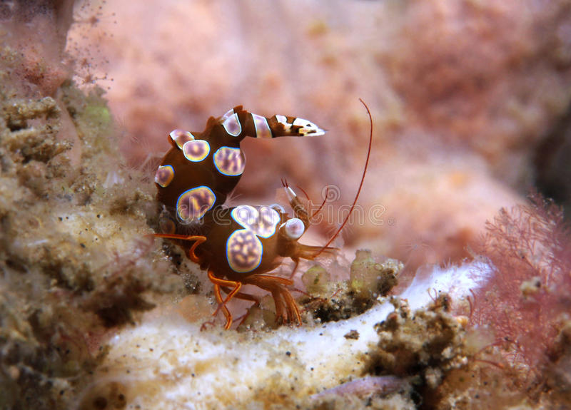 Squat Shrimp. (Thor Amboinensis), Lembeh Strait, Indonesia stock images