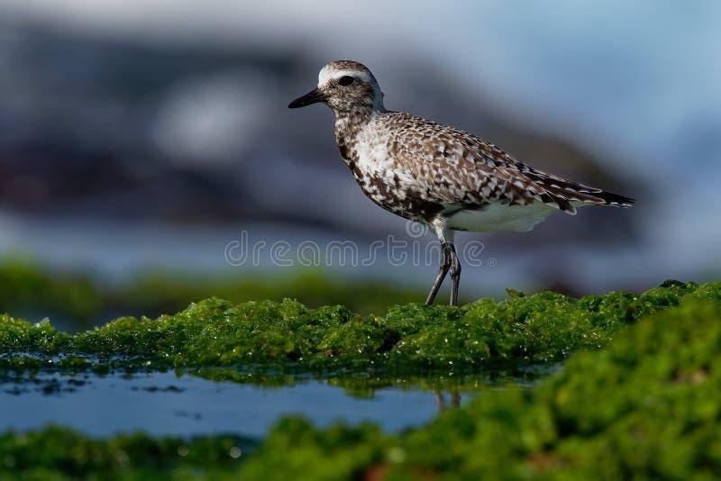 Squatarola del Pluvialis - Grey Plover sulla spiaggia immagine stock