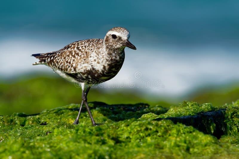 Squatarola del Pluvialis - Grey Plover sulla spiaggia fotografia stock