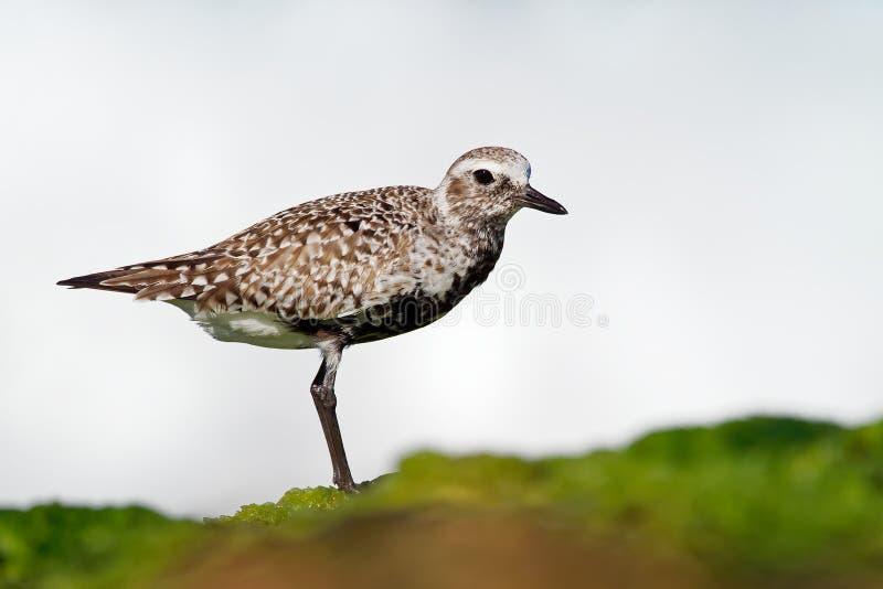 Squatarola del Pluvialis - Grey Plover sulla spiaggia fotografia stock libera da diritti
