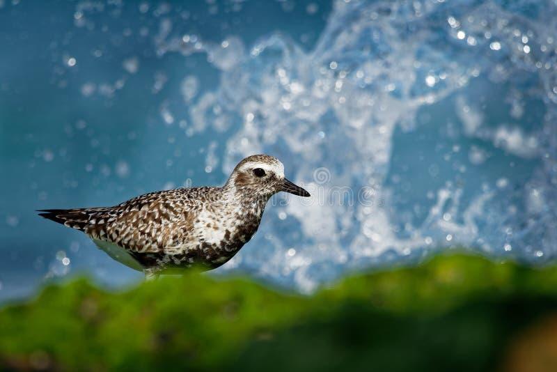 Squatarola del Pluvialis - Grey Plover sulla spiaggia immagine stock libera da diritti