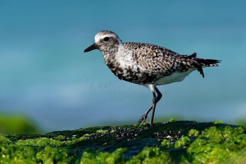 Squatarola do Pluvialis - Grey Plover no beira-mar imagem de stock