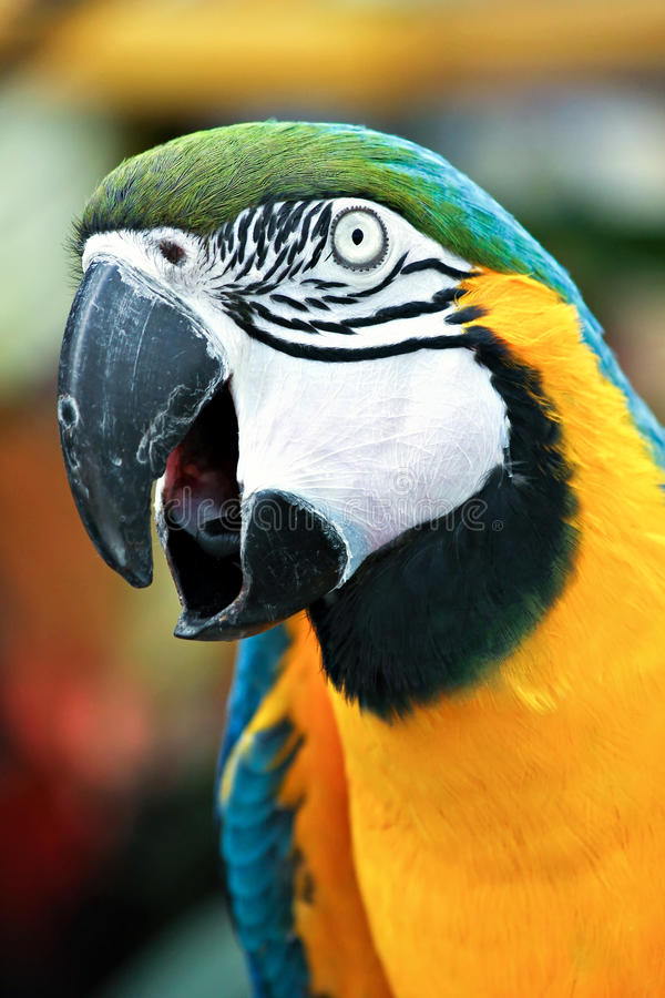 Squawking Parrot. Close-up of squawking parrot stock image