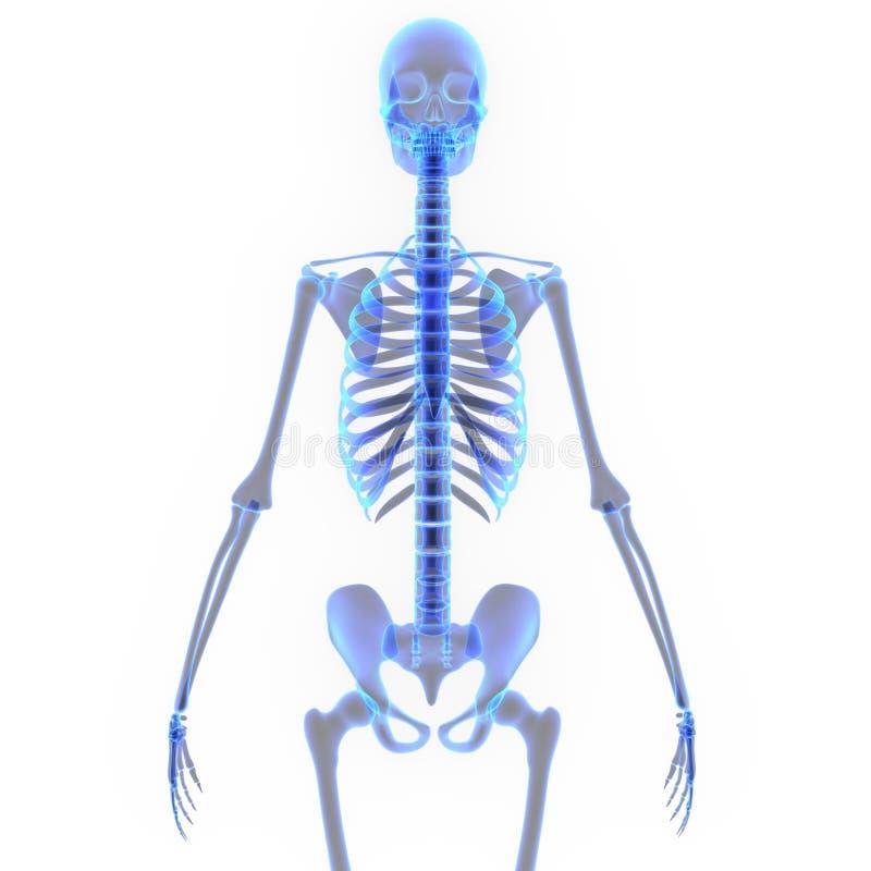 Download Squelette illustration stock. Illustration du santé, halloween - 45366904