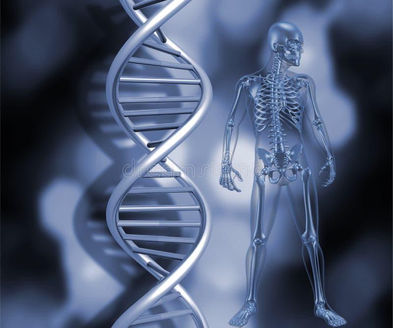 Squelette avec des brins d'ADN illustration stock