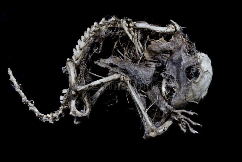 Squelette d'écureuil sur le fond noir image stock