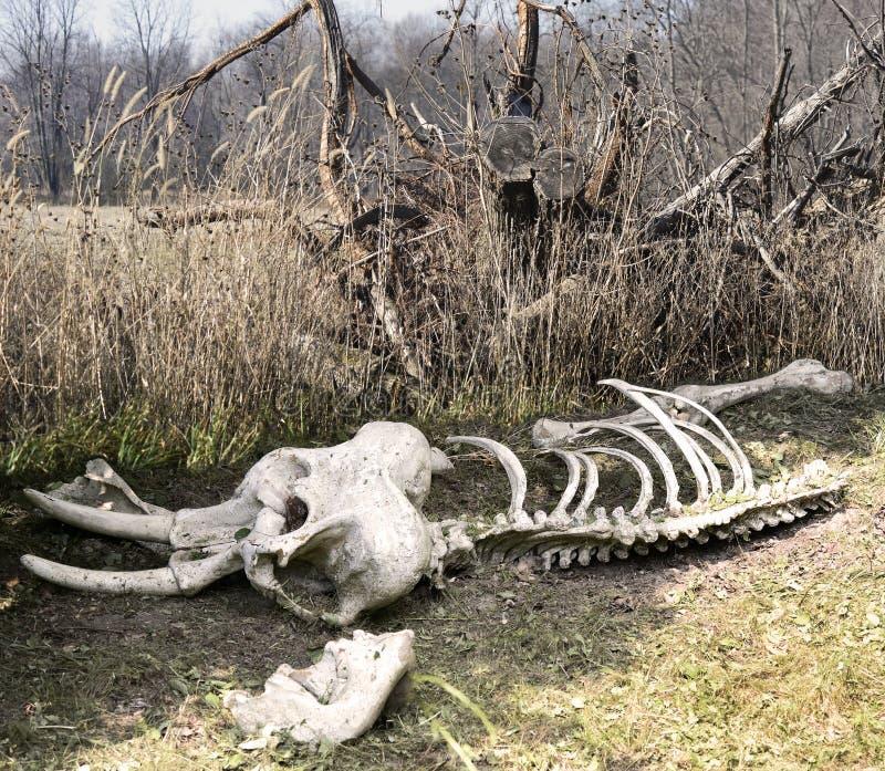 Squelette d'éléphant photo libre de droits