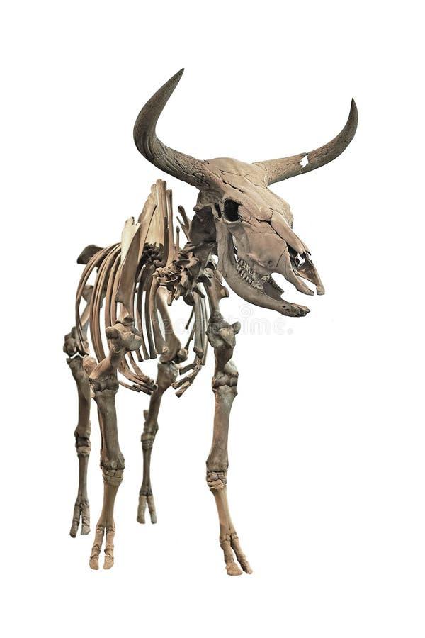 Squelette d'Aurochs (primigenius de Bos) image stock