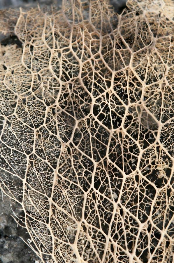 Squelette de cactus photographie stock libre de droits
