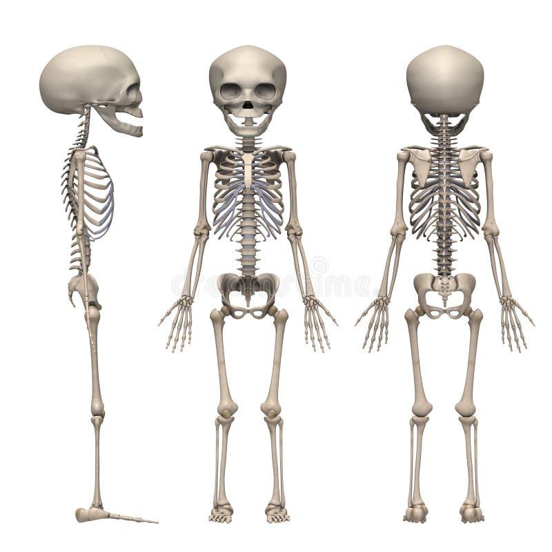 Squelette de foetus illustration stock