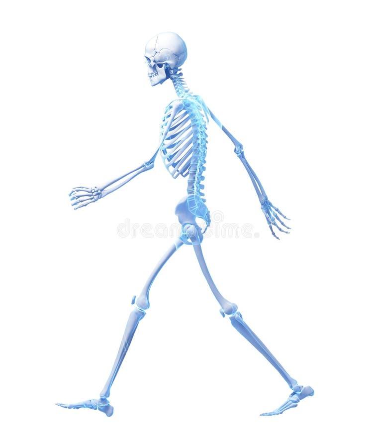 Squelette de marche illustration libre de droits
