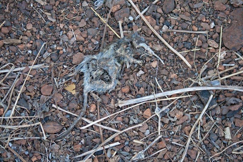 Squelette de rat photo libre de droits
