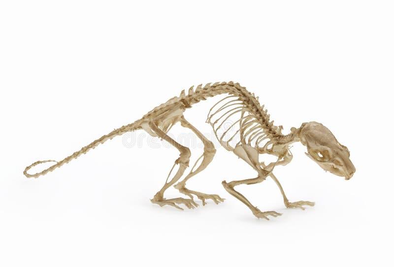 Squelette de rat, une allocation de zoologie de rongeur photos libres de droits