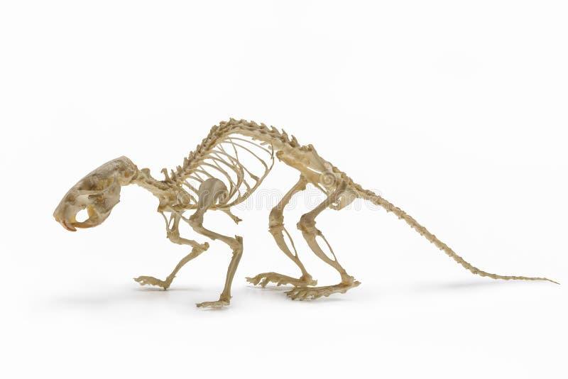 Squelette de rat, une allocation de zoologie de rongeur photo libre de droits