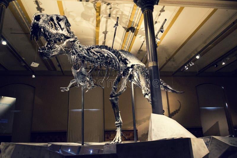 Squelette de rex de Tristan Otto Tyrannosaurus au musée d'histoire naturelle - fourrure Naturkunde de musée à Berlin, Allemagne photo stock