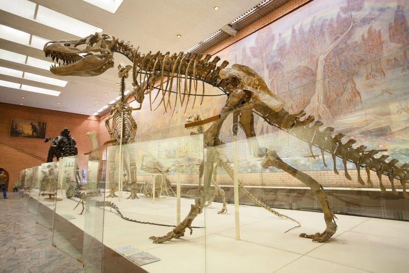 Squelette de tarbosaurus au musée paléontologique 20 de Moscou 08 2 photographie stock libre de droits
