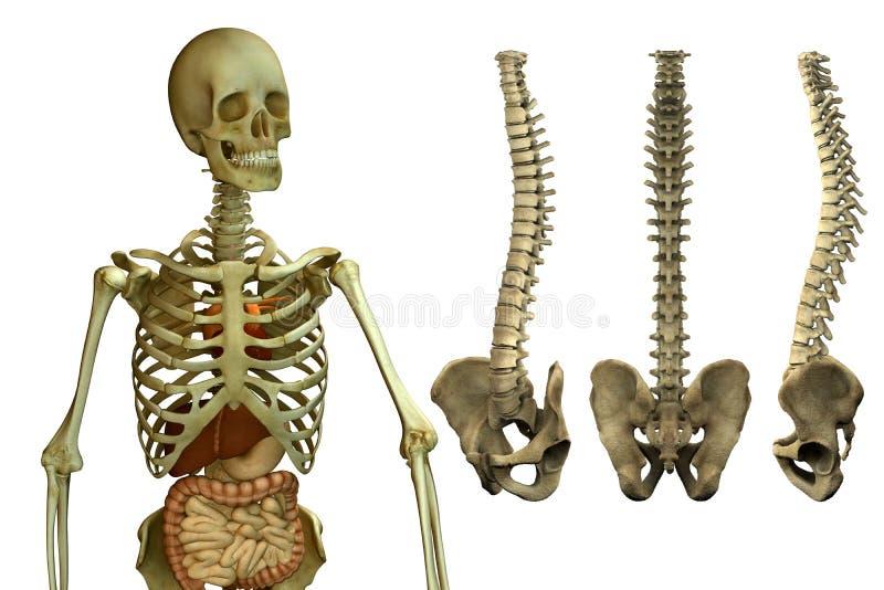 Squelette et épine humains illustration libre de droits