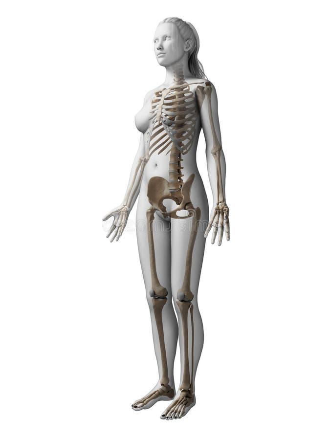 Squelette femelle illustration libre de droits