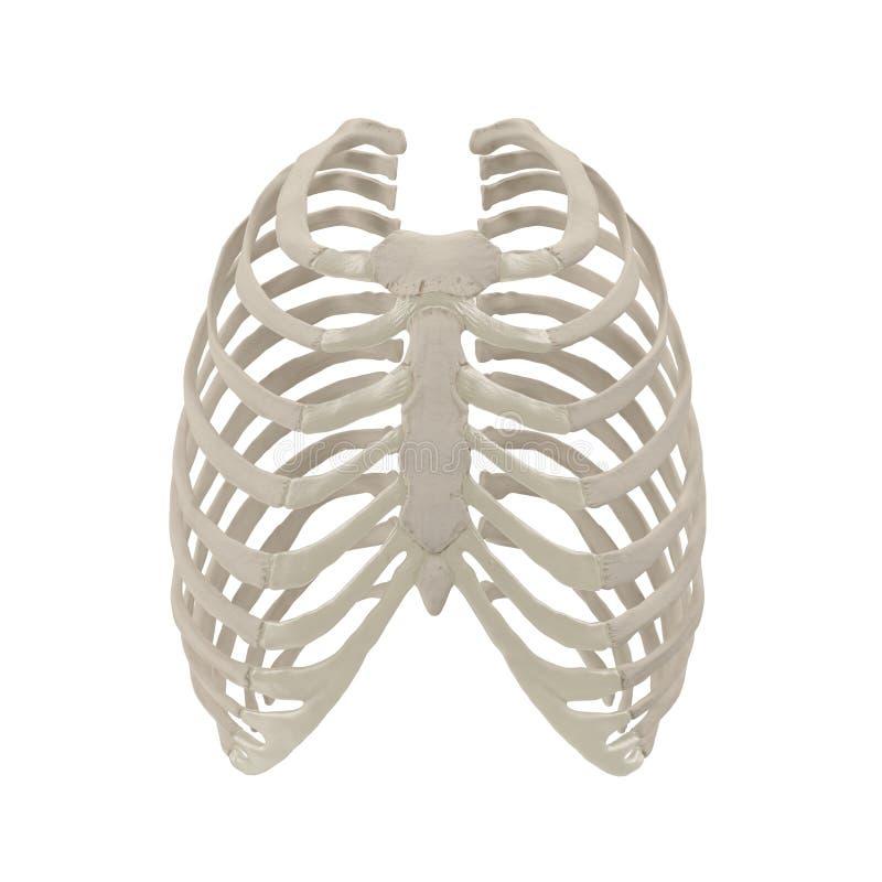 Squelette femelle de cage thoracique sur le blanc Front View illustration 3D illustration de vecteur