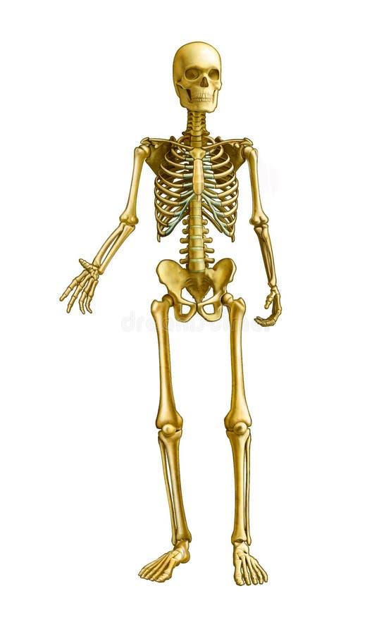 Squelette humain illustration stock