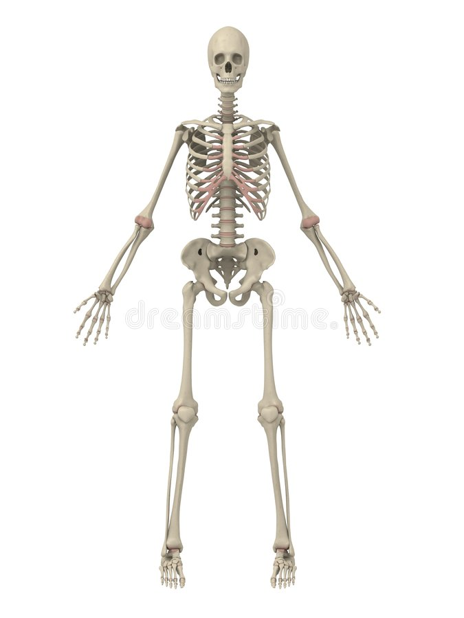 Squelette humain illustration libre de droits