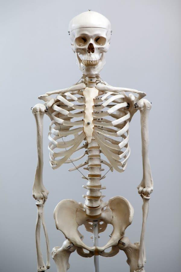 Squelette humain photo libre de droits