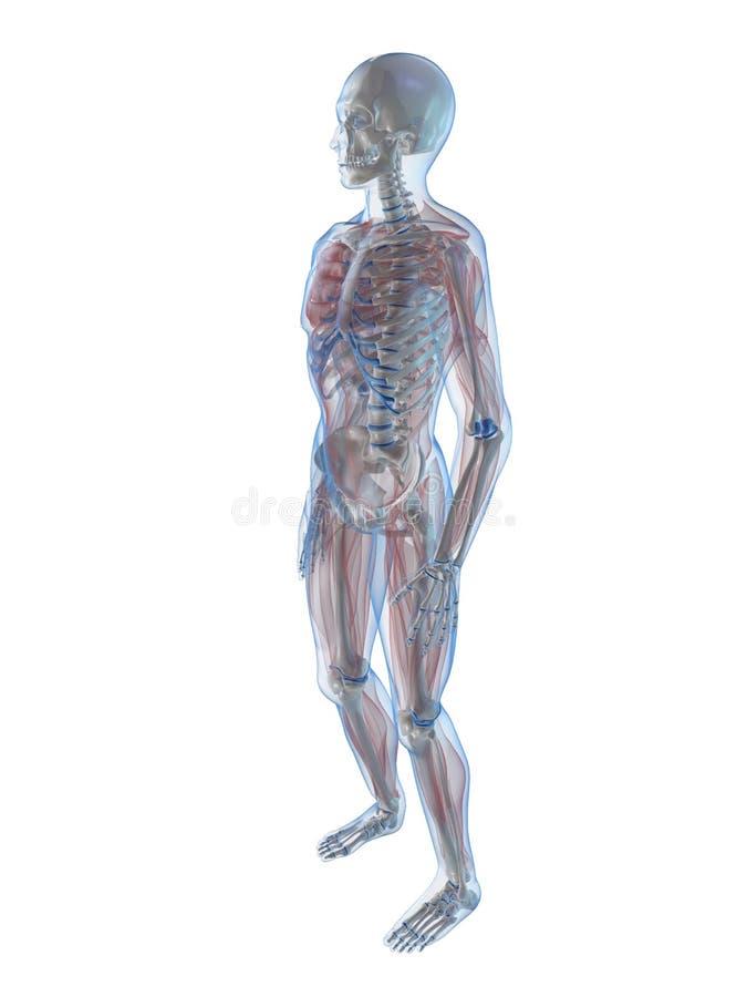 Squelette humain illustration de vecteur
