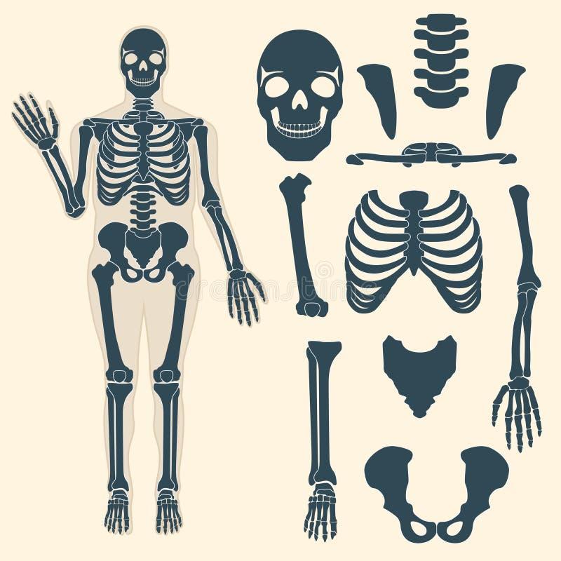 Squelette humain avec différentes pièces Anatomie de corps humain, poignet et thorax, coffre, doigt et crâne, mâchoire et bassin illustration libre de droits
