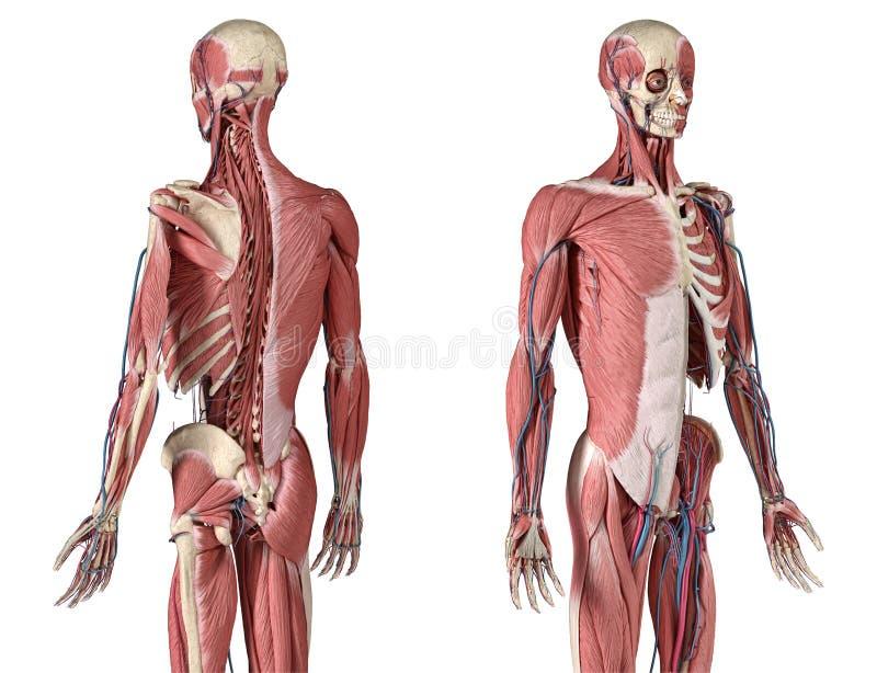 Squelette humain 3/4 avec muscles, veines et artères Vue avant et arrière en perspective illustration de vecteur