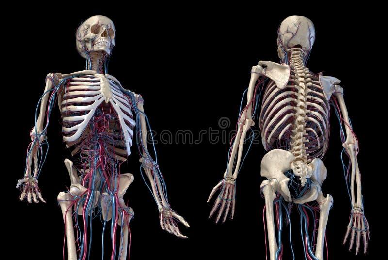 Squelette humain avec veines et artères 3/4 partie supérieure, avant et arrière illustration stock