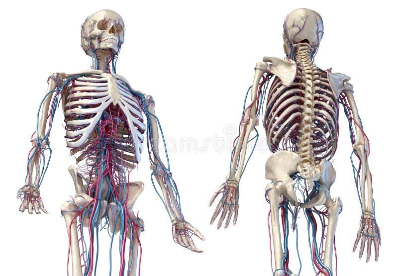 Squelette humain avec veines et artères 3/4 partie supérieure, avant et arrière illustration libre de droits