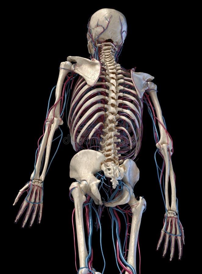 Squelette humain avec veines et artères 3/4 partie supérieure, côté arrière illustration stock
