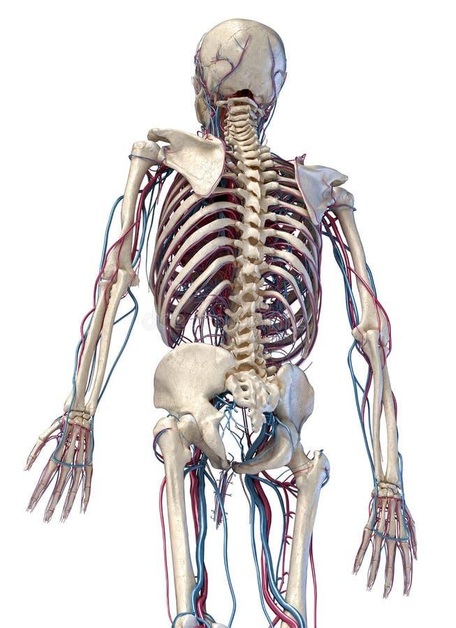Squelette humain avec veines et artères 3/4 partie supérieure, côté arrière illustration de vecteur