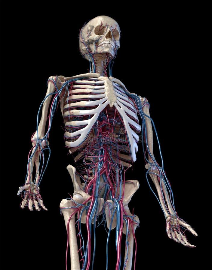 Squelette humain avec veines et artères 3/4 partie supérieure, côté avant illustration libre de droits