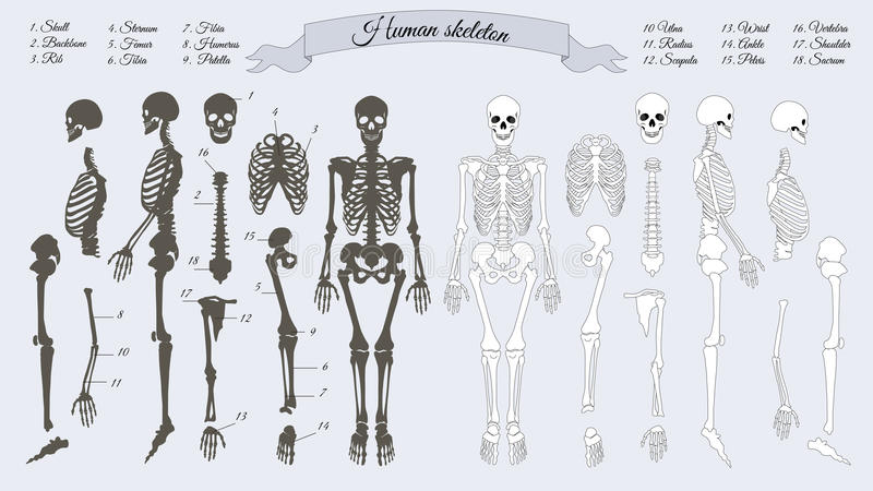 Squelette humain Blanc et noir Noms des os illustration stock