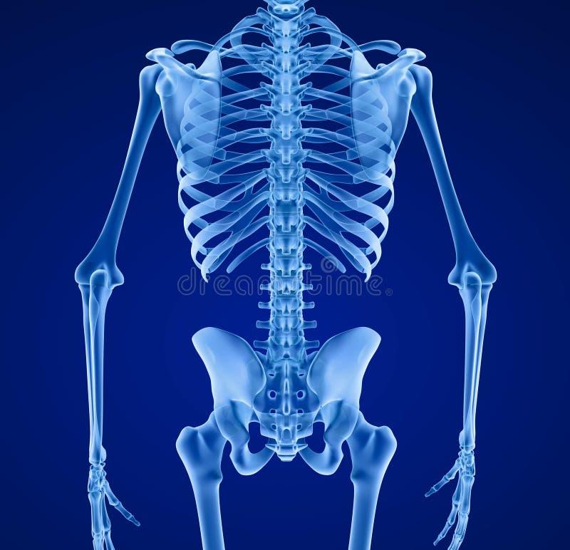 Squelette humain, médicalement précis illustration libre de droits