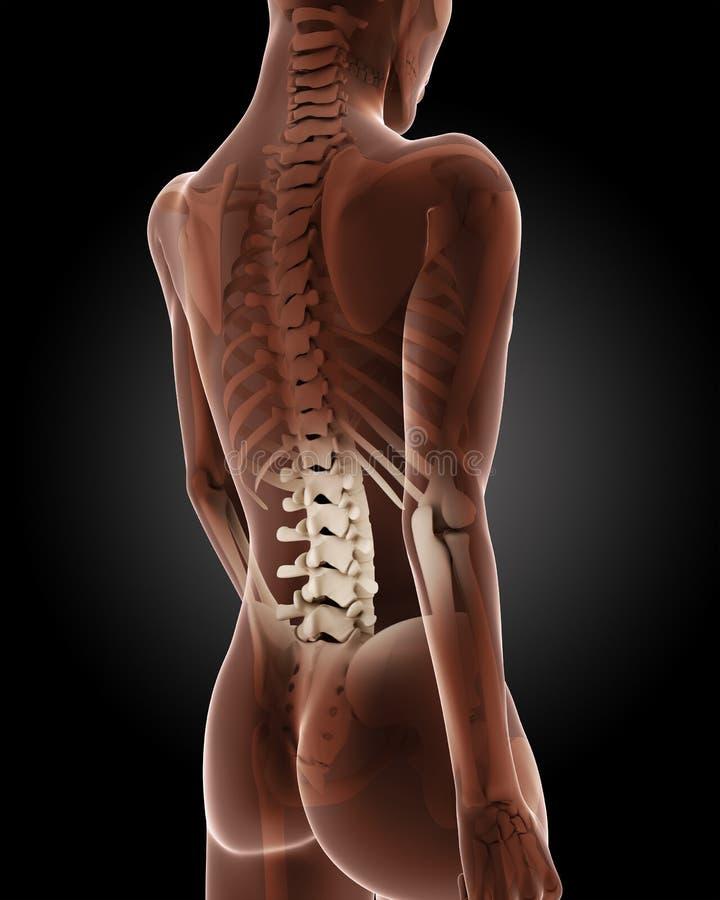 Squelette médical femelle illustration libre de droits