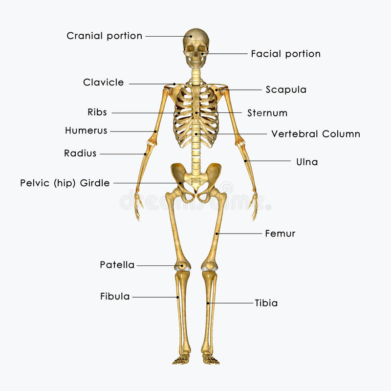 Squelette marqué illustration libre de droits
