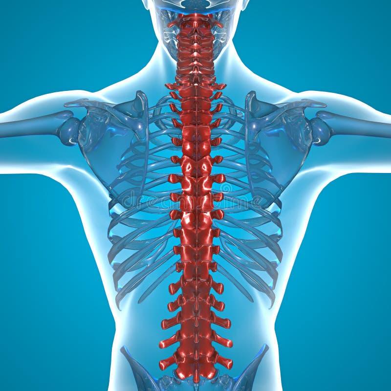 Squelette rouge de rayon X d'épine illustration stock