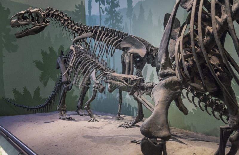 Squelettes des dinosaures préhistoriques image libre de droits